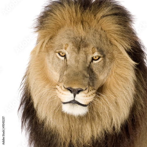 Fototapety, obrazy: Lion (4 and a half years) in front of a white background