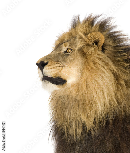 Foto op Plexiglas Leeuw Lion (4 and a half years) in front of a white background