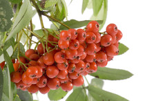 Object On White - Ashberries W...