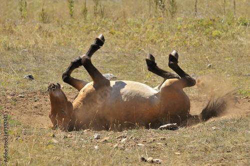 Fotografering  cheval de przewalski 2