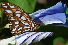 Gulf Fritillary Butterfly And Morning Glories