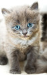 canvas print picture Portrait of a charming grey kitten