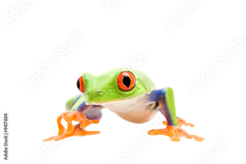 Tuinposter Kikker frog walking closeup isolated on white - a red-eyed tree frog