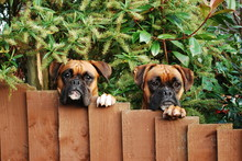 Two Boxer Dogs Protect Their Property Together