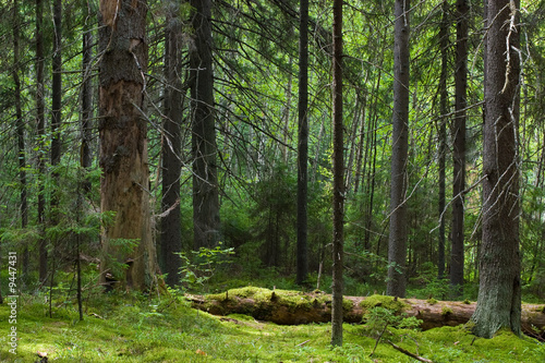 Spoed Fotobehang Bos Depths of the softwood forest at summer, Seliger lake, Russia