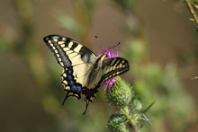 Macaona (Papilio Machaon)