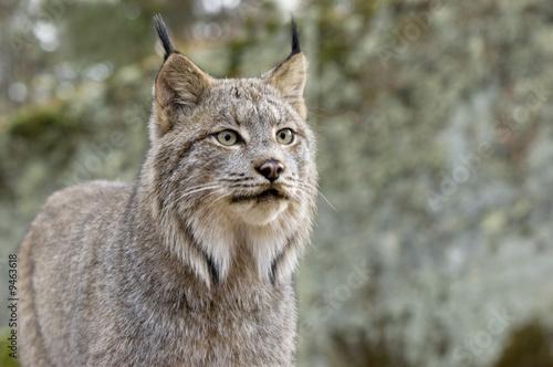 Foto auf Leinwand Luchs Head shot ofd a Canadian Lynx. Northern Minnesota