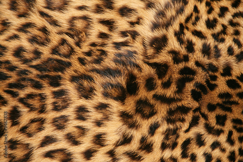 Aluminium Prints Leopard skin of the leopard