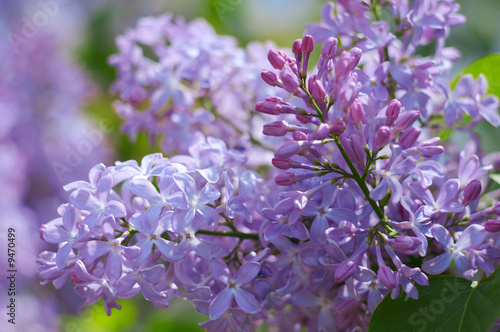 Spoed Foto op Canvas Lilac Blooming lilac branch (clouse up)