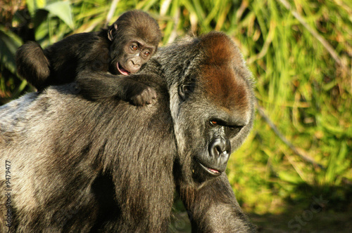 Fotografie, Obraz mother and baby western lowland gorillas