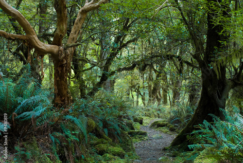 Valokuvatapetti primeval forest on kepler track, fiordland, new zealand