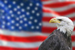 bald eagle national flag of the united states