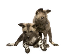 African Wild Dog Cub(9 Weeks) In Front Of A White Background