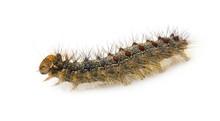Gypsy Moth Caterpillar In Fron...