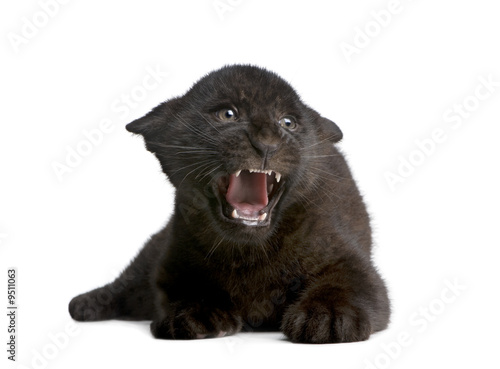 Photo Stands Panther Jaguar cub (2 months) in front of a white background