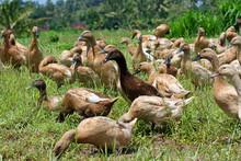 Canards Balinais