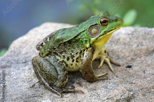 A big green bullfrog sitting on a rock
