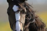 Fototapeta Konie - Brown Horse Head
