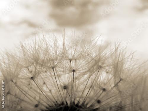 Valokuva  Sepia toned close-up of dandelion clock against sky