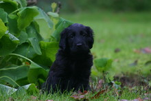 Jeune Flat Coated Retriever Dans L'herbe