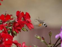 Insecte Vol Stationaire
