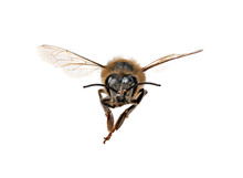 Honey Bee Looking Right At You...