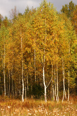Panel Szklany Brzoza Autumn trees. Birches with orange leaves. Meadow