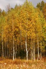 FototapetaAutumn trees. Birches with orange leaves. Meadow