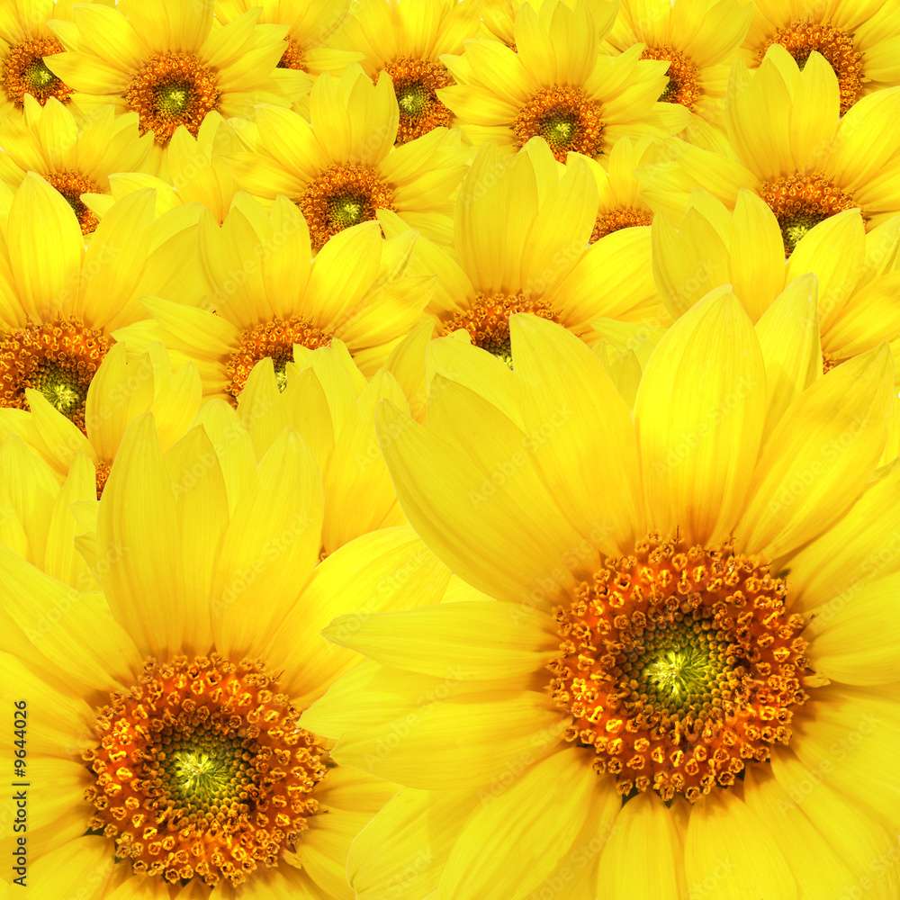 Yellow sunflower flowers Atop One Another