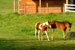 canvas print picture - Two little foals walking around barn in morning light
