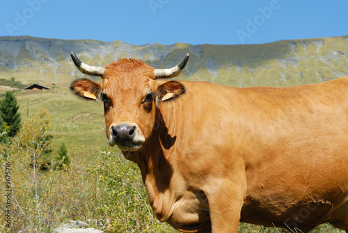 Poster de jardin Vache vache en alpage