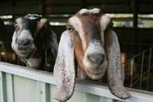 Curious Goats
