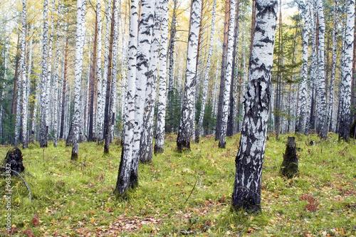 Deurstickers Berkbosje A birchwood in the autumn