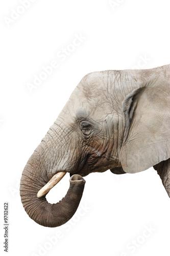Potrait of an Elephant - Isolated on white background