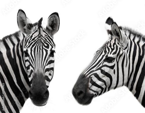 Naklejki zebra   zebra
