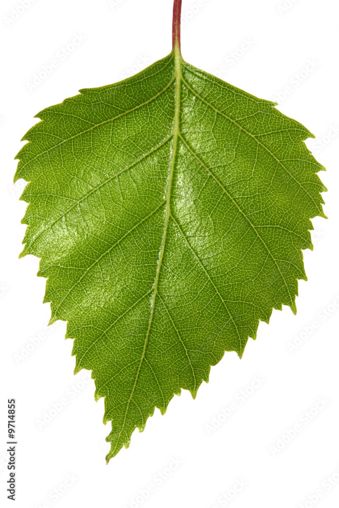 Single silver birch tree leaf, isolated on white.