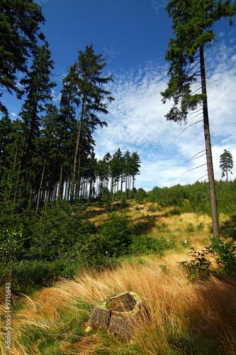 Fototapeta Pine forest and blue sky with clouds obraz na płótnie