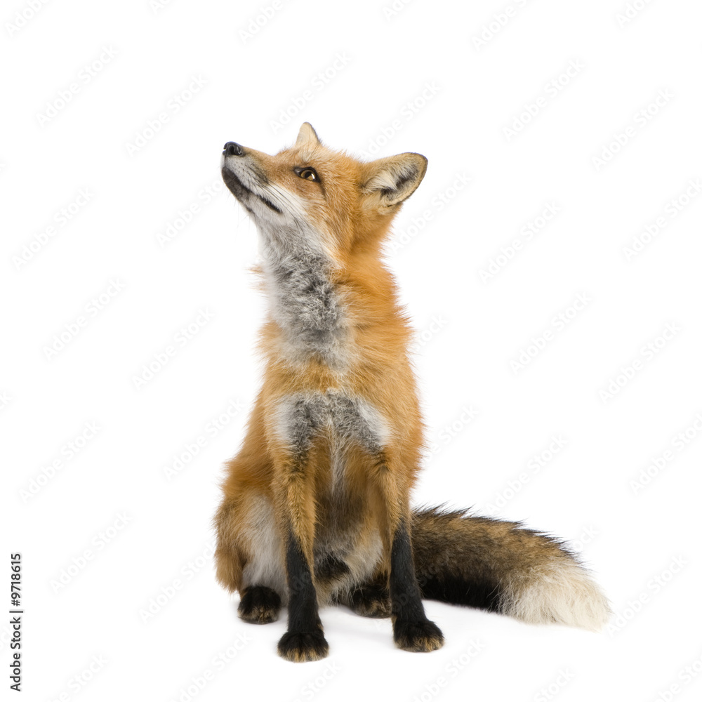 Fototapety, obrazy: Red fox (4 years) - Vulpes vulpes in front of a white background