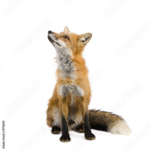 Red fox (4 years) - Vulpes vulpes in front of a white background Tapéta, Fotótapéta