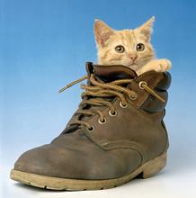 Cat In A Shoe