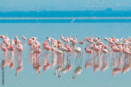 Tuinposter Algerije flocks of flamingo, lake nakuru, kenya