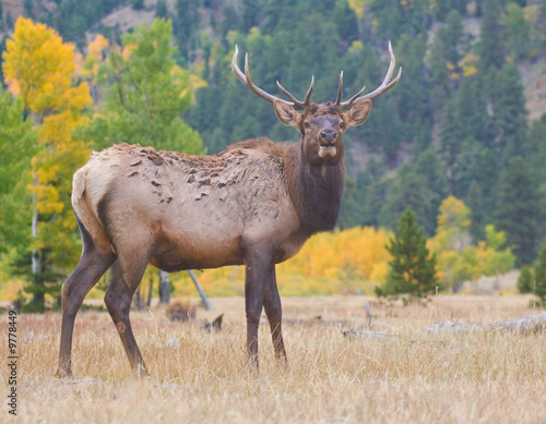 Papiers peints Foret brouillard A bull elk standing in Rocky Mountain National Park in fall