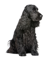 English Cocker Spaniel (2 Years) In Front Of A White Background