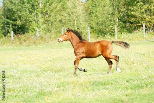 Foto op Canvas Paarden The Redhead foal runs on green meadow.