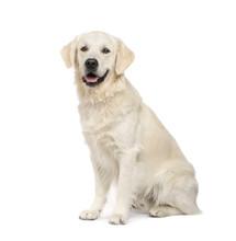 Golden Retriever (2 Years) In Front Of A White Background