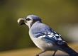 Blue Jay feeding on a peanut
