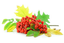 Cluster Of Wild Ash With Leaves Autumn Still Life Isolated