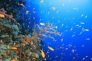 Fototapeta na wymiar Living coral reef