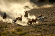 canvas print picture - Cowgirl and Cowboy galloping and roping wild horses