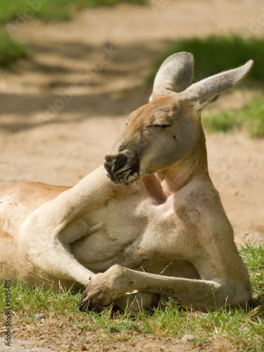 Lazy kangaroo with almost human posture